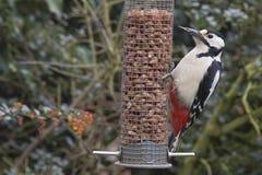 在花生饲养者的伟大的被察觉的啄木鸟 免版税库存图片