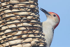 在花生馈电线的啄木鸟 库存图片