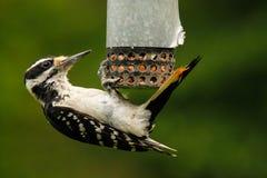 在花生馈电线的长毛的啄木鸟 免版税库存照片