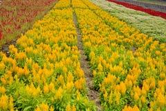 在花田的巨大黄色和红颜色 库存图片