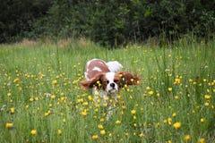 在花田的狗 免版税库存照片
