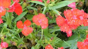 在花田的红色Dainthus花 股票视频