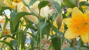 在花田的黄色百合花 影视素材
