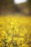 在花田的黄色花 免版税库存照片