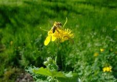 在花白屈菜蜜蜂飞行 免版税库存照片