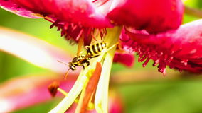 在花百合的黄蜂 影视素材