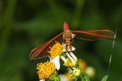 在花百合的蜻蜓 免版税库存照片