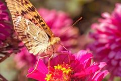在花百日菊属的银被洗涤的贝母蝴蝶,宏指令 库存照片