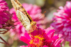 在花百日菊属的银被洗涤的贝母蝴蝶,特写镜头 库存图片