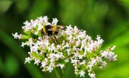 在花的一只土蜂 库存图片