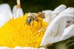 在花的一只微小的蜂 免版税图库摄影