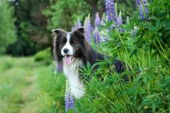 在花的一只愉快的博德牧羊犬 图库摄影