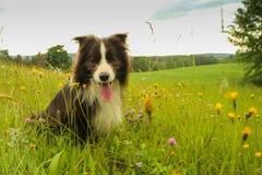 在花的一只愉快的博德牧羊犬 免版税库存照片