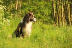 在花的一只愉快的博德牧羊犬 库存照片