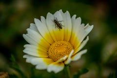 在花的一只昆虫 免版税库存照片