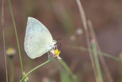 在花的一只特写镜头蝴蝶 图库摄影
