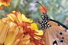 在花的一只简单的老虎蝴蝶 免版税库存照片