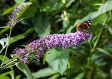 在花的一只红蛱蝶蝴蝶 图库摄影