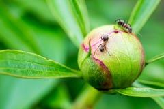 在花的一只蚂蚁 免版税库存照片