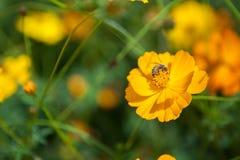 在花的一只蜂在庭院里 免版税库存图片