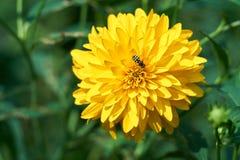 在花的一只蜂 免版税库存照片