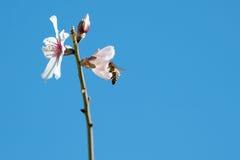 在花的一只蜂 免版税图库摄影
