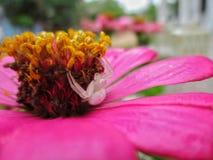 在花的一只蜘蛛 库存照片