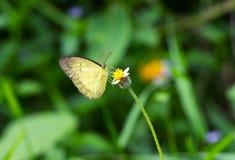 在花的一只黄色蝴蝶在森林里 库存图片