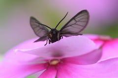 在花的一只黑蝴蝶 库存图片