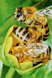 在花的三只蜂 免版税图库摄影