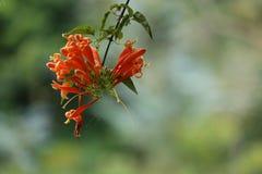 在花的上帝的自然tamilnadu的 免版税库存照片