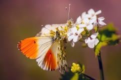 在花的两只美丽的蝴蝶 图库摄影