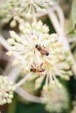 在花的两只蜂在庭院里 库存图片