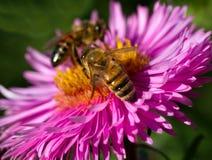 在花的两只蜂 免版税图库摄影