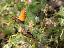 在花的两只黑脉金斑蝶 免版税库存照片