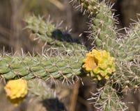 在花的仙人掌-在亚利桑那停放柱仙人掌-美国公园柱仙人掌,在图森附近在亚利桑那-美国 免版税库存图片