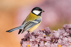 在花的伟大的山雀 图库摄影