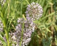 在花的伟大的金黄掘土蜂啜饮的花蜜 免版税库存图片