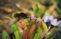 在花的传粉者昆虫 库存图片