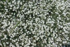 在花的低传播的耳草属tomentosum 免版税库存图片