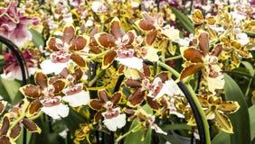 在花的兰花 Oncidium杂种 Cambria 库存照片