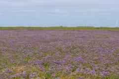 在花的共同的海淡紫色补血草属vulgare 免版税库存照片