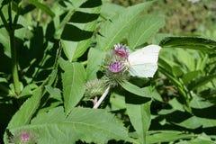 在花的共同的硫磺 免版税库存图片