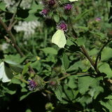 在花的共同的硫磺 库存图片