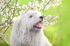 在花的南俄国护羊狗 库存图片