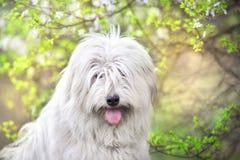 在花的南俄国护羊狗 免版税库存图片
