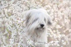 在花的南俄国护羊狗 库存照片