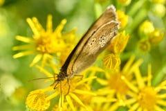 在花的卷发蝴蝶 库存图片