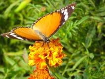 在花的国君总督橙色蝴蝶 库存照片