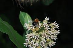 在花的土蜂就座 免版税图库摄影